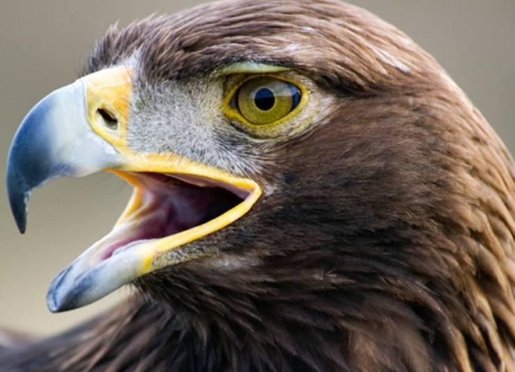 El Picotazo Por El águila Real